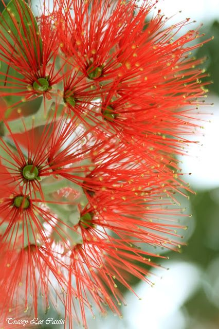 New Zealand Pohutukawa. Also known as the New Zealand christmas tree, as it is in full bloom during the holidays.