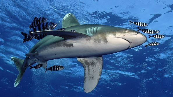 SharkSchool™-Sonderreise Rotes Meer im November 2018 #wirodive #tauchreisen #erlebnisreisen #scubakids #born2dive #oceanlovers #touchedbynature #sharkschool #sharklovers
