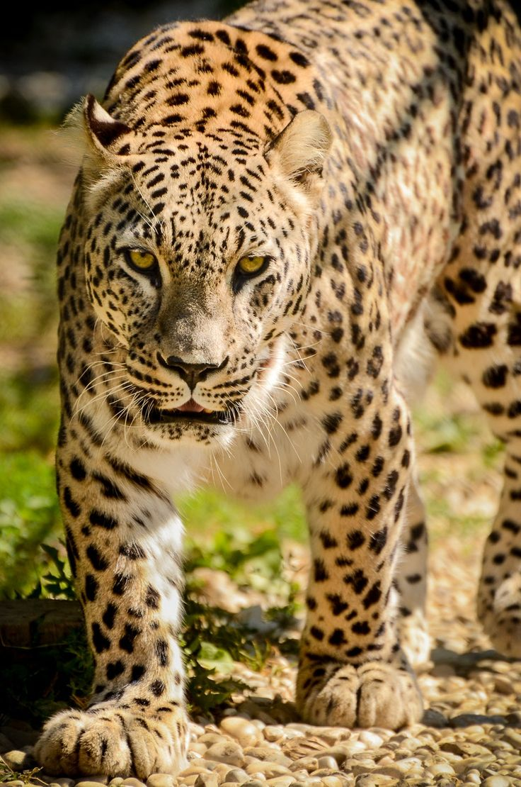 Leopard - Panthera pardus - A leopard is watching you!