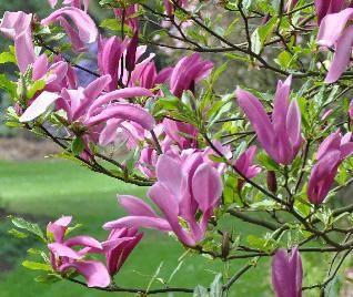 Magnolia 'SUSAN' bloemen
