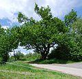 Naturdenkmal Krause Eiche im Hochsauerlandkreis bei Amecke (zu Sundern) an der Straße Zur Krausen Eiche.JPG