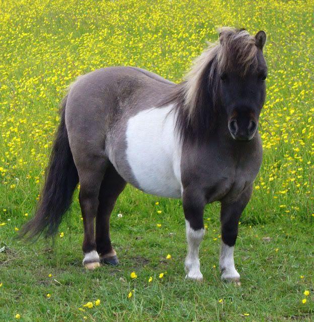 Best 25+ Mini shetland pony ideas on Pinterest | Shetland ponies ...