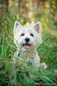 """West Highland White Terrier """"Westie"""""""