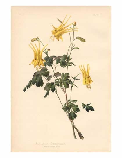 Aquilegia chrysantha  Golden Columbine  Range: Colorado and Utah south to Arizona and TexasColumbine Range, Utah South, Botanical Prints, Native Botanical, Chrysantha Golden, Golden Columbine, Aquilegia Chrysantha, Botanical Art