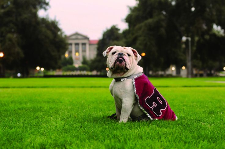 University of Redlands mascot Thurber sits on the Quad.