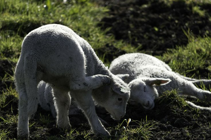 Lamb scratching its ear by Eirik S on 500px