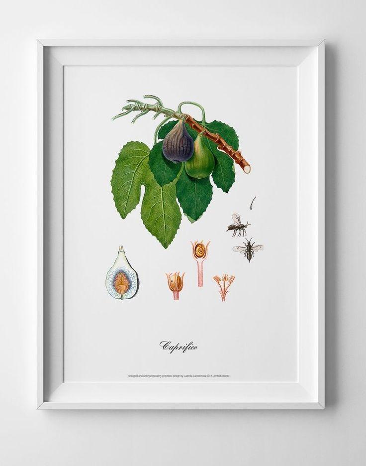 Botanical art poster of Figs vintage antique picture home kitchen wall art decor #IllustrationArt