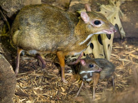 Mouse deer are the smallest members of the animal family that includes pigs, hippos, camels, deer, antelopes, sheep and goats. Adults are 45 to 55 centimetres long (18 to 22 inches) and can live for about 12 years.
