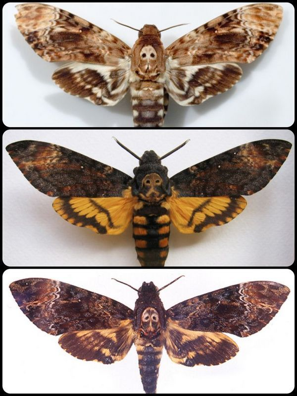 Death's head moths (Acherontia atropos [top], A. styx [middle], A. lachesis [bottom]                                                                                                                                                                                 More