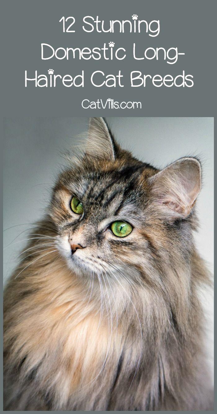 Best 25 domestic cat breeds ideas on Pinterest