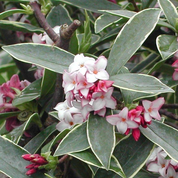 Les 25 meilleures id es de la cat gorie daphne odora sur for Arbuste daphne odora aureomarginata