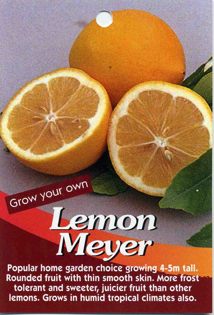 Lemon Meyer Buy Lemon Meyer Popular Home Garden Choice Growing