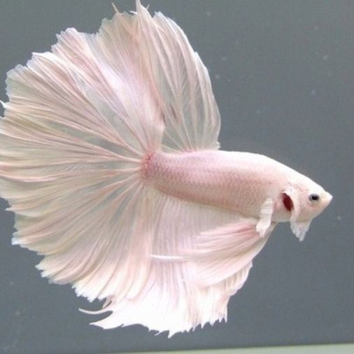 Tropical Fishes for Your Aquarium