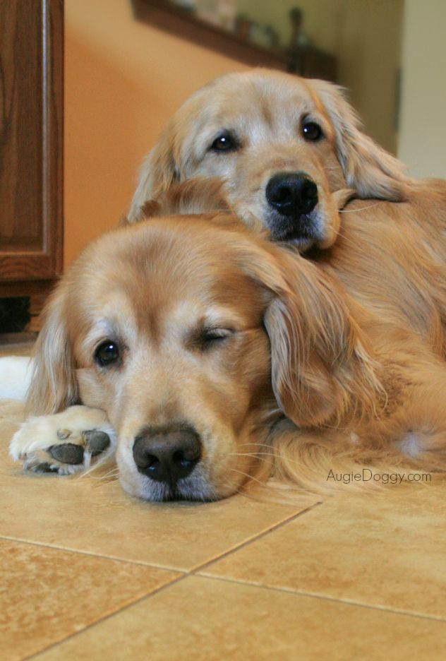 Two Brothers Cuddling In 2020 Golden Retriever Dogs Golden Retriever Retriever