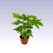 Szobaarália, Fatsia japonica 30 cm magas 14cs