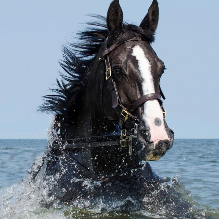 A horse called Inkspot swimming in the sea