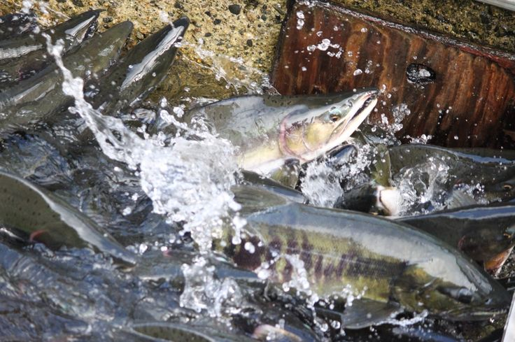17 best images about pacific salmon on pinterest rivers for Washington salmon fishing reports