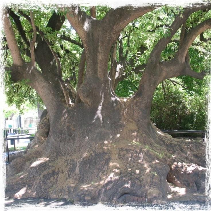 8 best ombu bellasombra argentina y uruguay images on pinterest ombu trees fandeluxe Images