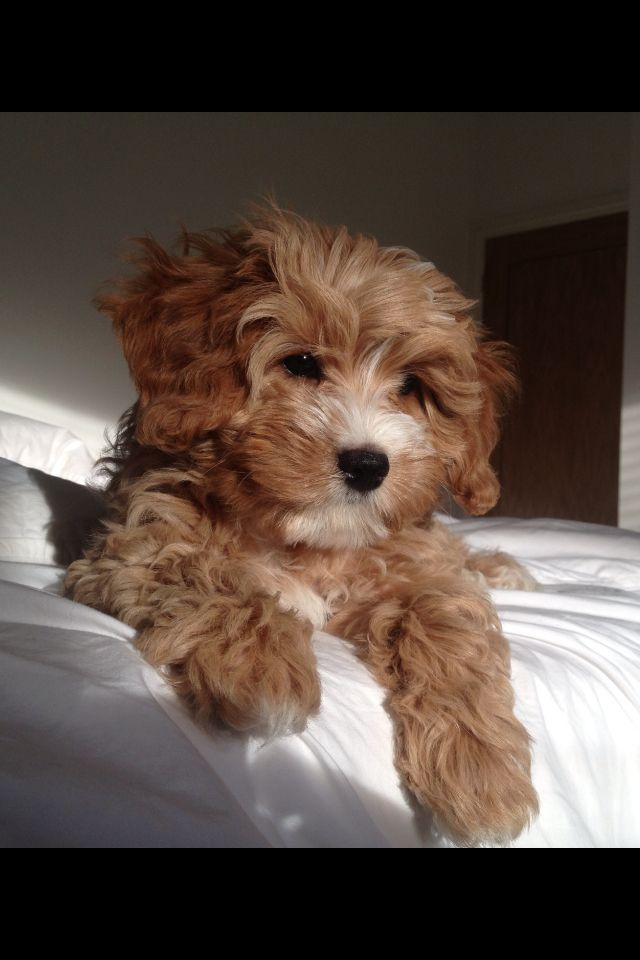 Cavapoo puppy, Rufus