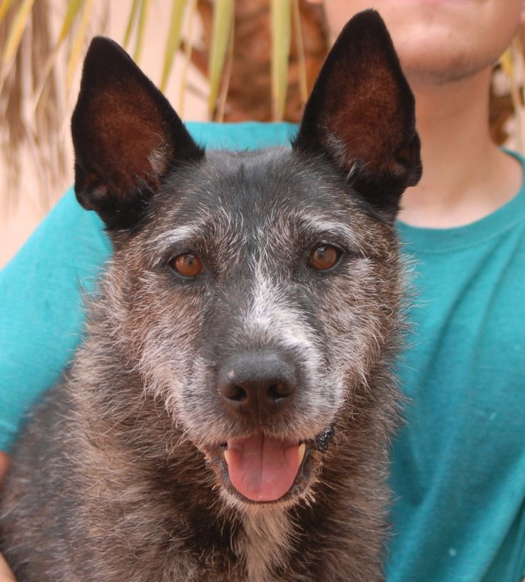Tiger is a joyful, sporty, and devoted boy debuting for adoption today at Nevada SPCA (www.nevadaspca.org). He is a good-looking Laekenois mix (variety of Belgian Shepherd), 5 years of age and neutered, and good with other dogs. We rescued Tiger from another shelter that ran out of space. Please come meet him!