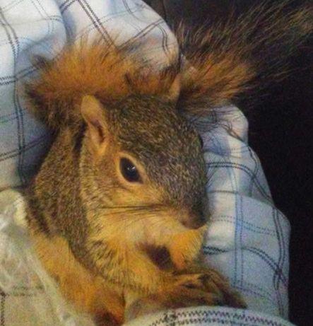 Rescue Squirrel Fights Off A Burglar In His Dad's Home