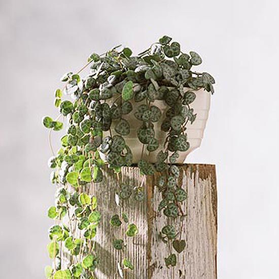 rosary vine perfect for hanging baskets rosary vine ceropegia linearis woodii is a hanging plantsindoor - House Plants Vines
