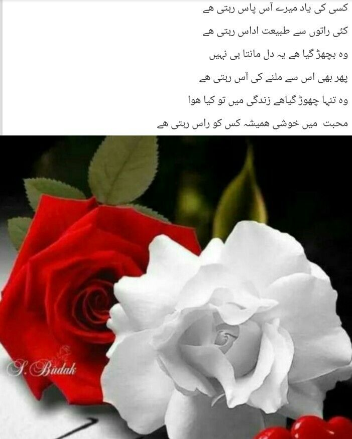 Pin By Khushi Zaan On Quotes Flowers Rose Plants