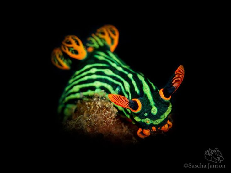 Unlike almost all mollusks, #nudibranchs are hermaphroditic, that is they possess both male and female sexual organs at the same time in adulthood. Individuals mate by aligning themselves head to tail, along the right side of the body, interlocking the male and female genitals at a common orifice.  Cover photo by cameras@Lembeh Resort photo pro Sascha Janson  #MarchOfTheNudis #diving #Lembeh #underwaterphotography — at Lembeh Resort.
