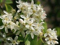 Graines de Prunus armeniaca - Abricotier