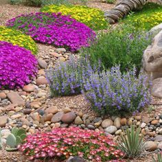 Delosperma 'Mountain Red' in the foreground with Blut and nubigenum varieties - ICE PLANTS for draught tolerant garden