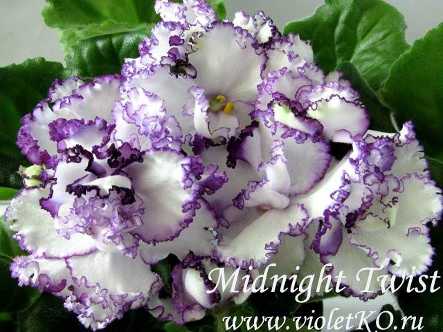 Midnight Twist (P. Sorano) Полумахровые и махровые гофрированные кремово-белые цветы окаймлены черно-пурпурным тоном. Варьирующее количество темно-пурпурного по всему цветку. Зеленые стеганые листья.