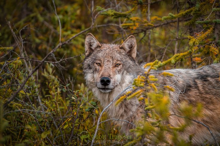 63 Best Wolf In The Woods Images On Pinterest Wolf Red