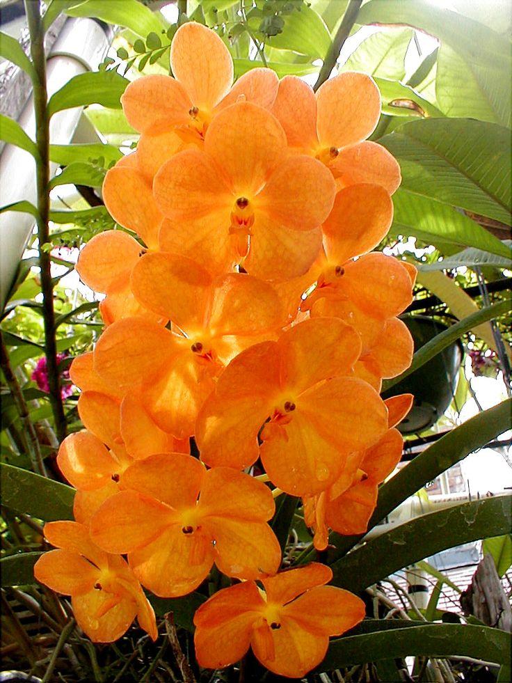 OrchidBeautiful Flower, Ascocenda Suksamran, Vanda Orchids, Sunlight Tangerine, Suksamran Sunlight, Tropical Flower, Orchids Mokara, Orange Orchids, Flower Orchids