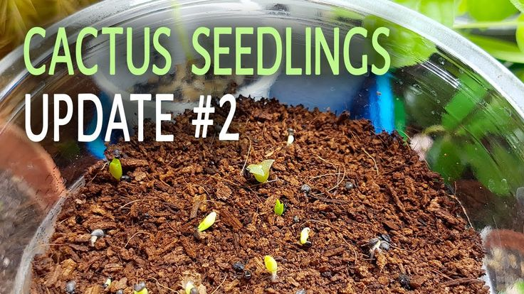 Cactus Seedlings Update #2 - 17.06.2017  The cactus seeds I have started recently are doing so - so. From the saguaro cactus seedlings only one remained however from the mixed seeds many have germinated and are still alive.