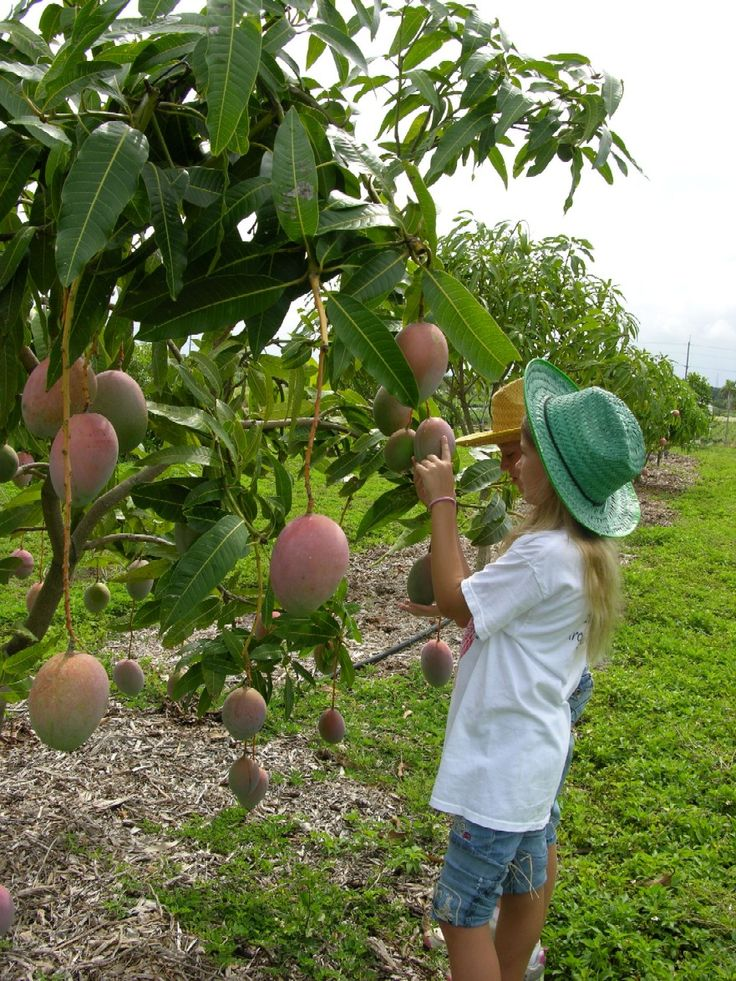 How To Grow A Mango Tree Fairchild Tropical Botanical