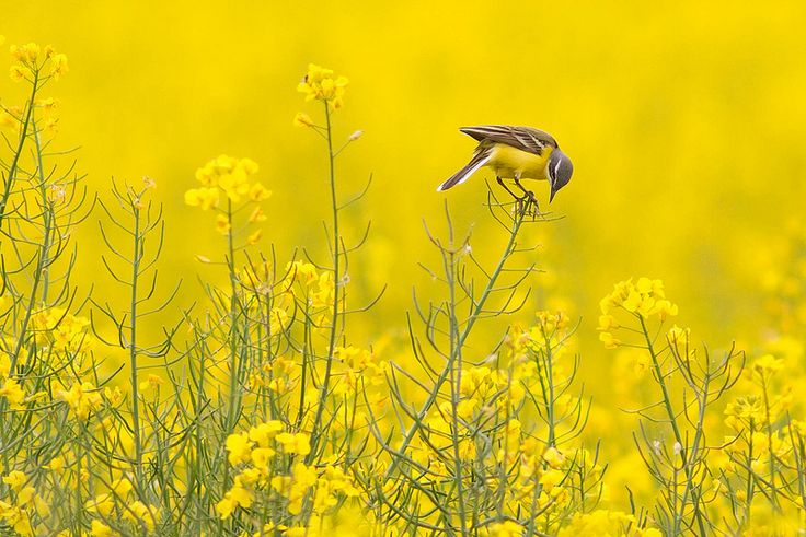 fairy-wren: Western Yellow Wagtail. Photo by...