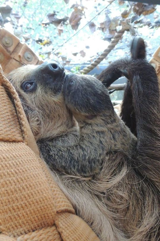 Baby sloth and mummy sloth having a cuddle