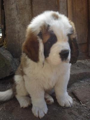 Miniature saint berdoodle. A mix between a standard poodle and a Saint Bernard. Hypoallergenic and non- shedder.