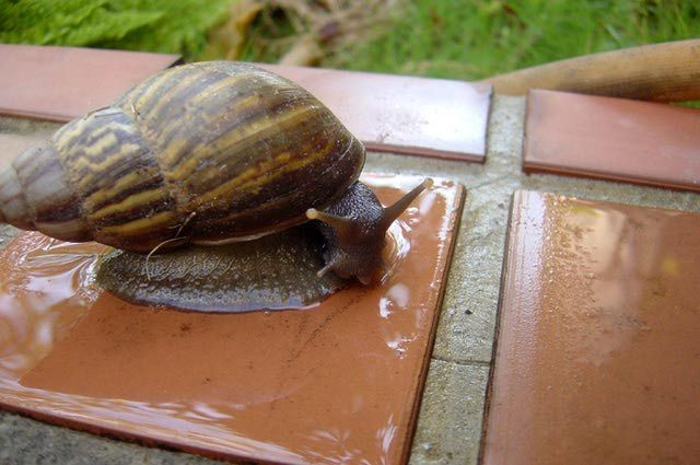 What You Should Know About Having Giant African Land Snails as Pets