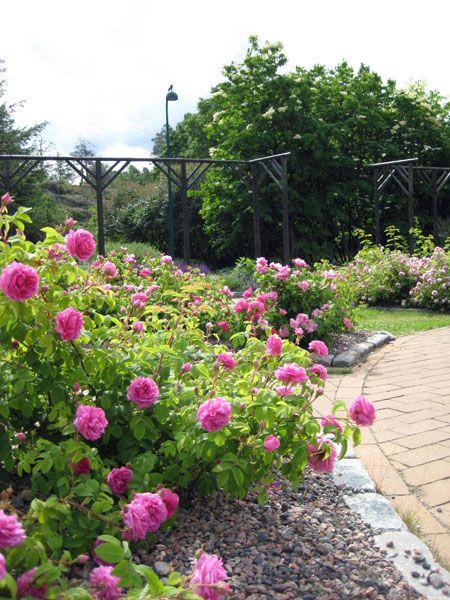 Ruusutarha on näyttävimmillään juhannuksen aikoihin [Mari Jyrkiäinen]