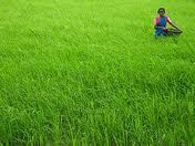 Agricultural sector growth rate 1.9percent in 2012-13 : CSO provisional figures