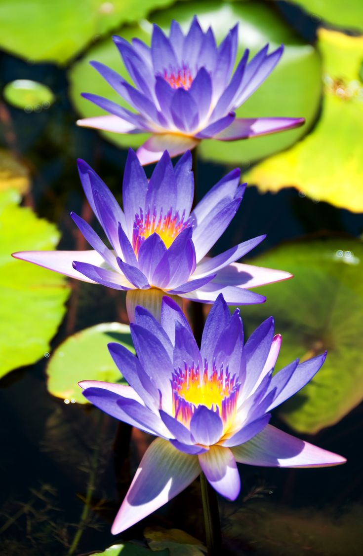 135 best water lilies lotus flowers images on pinterest nature water lilies dhlflorist Images