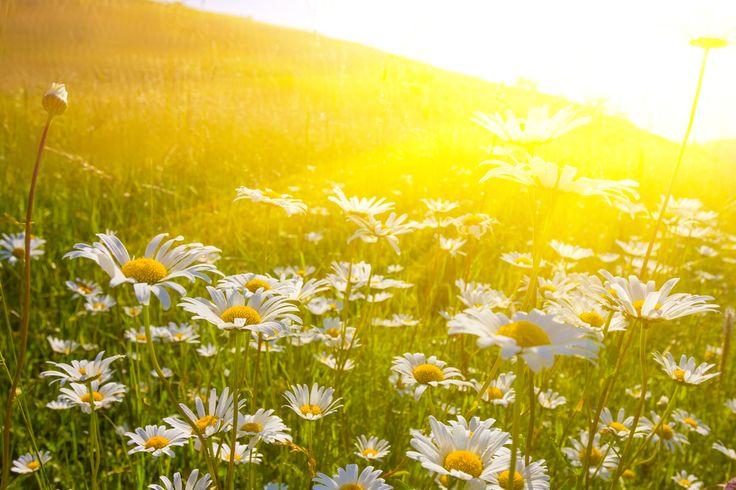 La récolte de la #caomilleromaine | Compagnie des Sens