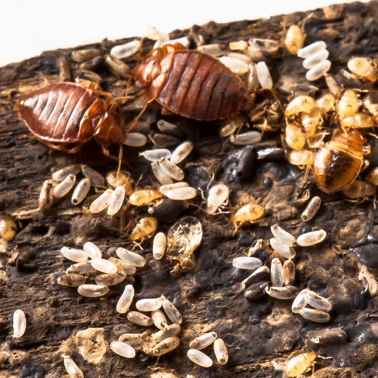 What are Bed Bug signs & symptoms?  The first signs and symptoms of a bed bug infestation may be the presence of bites on family members. A thorough inspection of your bed, mattress, surrounding areas and the common hiding spots may also reveal the bed bugs and their castings themselves, however, due to their size, they are often hard to see.