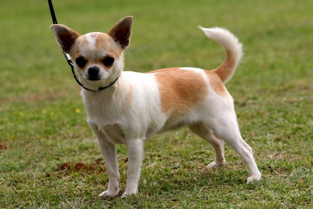 short coat chihuahua 1000 ideas about short haired chihuahua on pinterest 3237