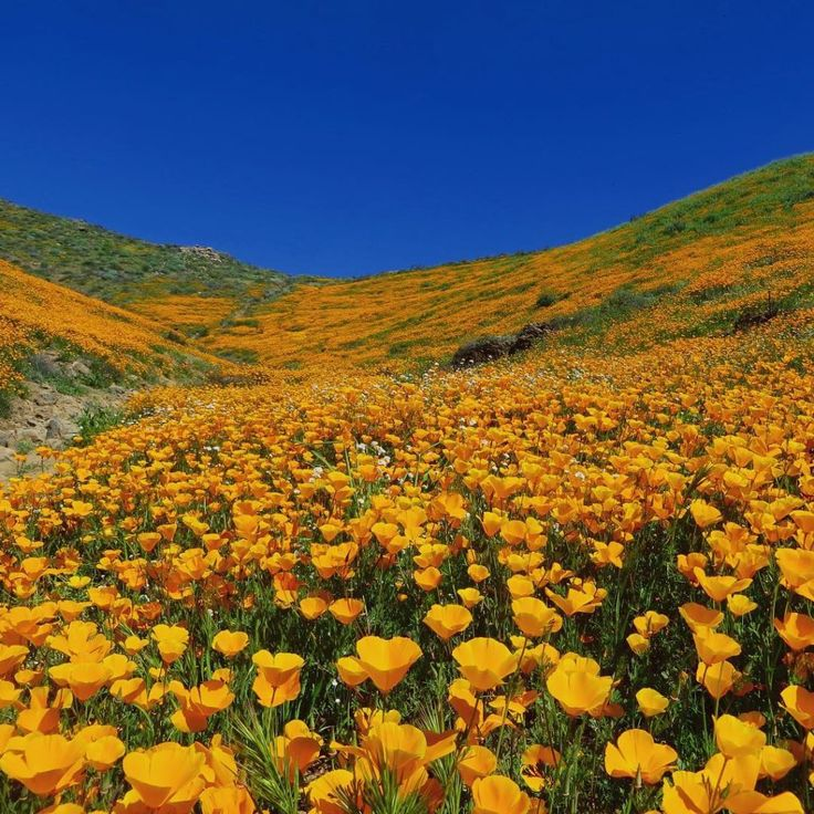 9 Magical Photos of California's Wildflower Super Bloom | Walker Canyon, California | Credit: