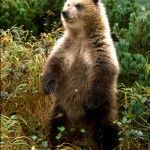 The Brown Bear can be found in Alaska, western Canada,and parts of Washington, Montana and Wyoming. Small individual populations are scattered throughout parts of Europe and Asia. Russia has a healthy population of brown bears currently. The interior bears of the North American Rocky Mountains (Grizzly Bear) and the mountains of Europe tend to be much smaller. The really big bears (1500pounds/700kg and bigger) are now very rare.