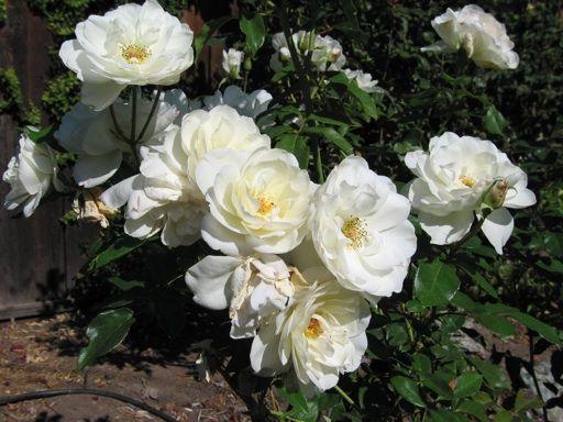 White Garden Rose Bush 36 best roses images on pinterest | garden roses, flowers and