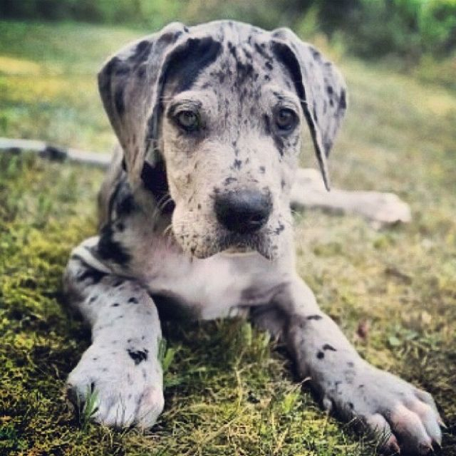 Merle Great Dane Pup <3 Look at those big paws!