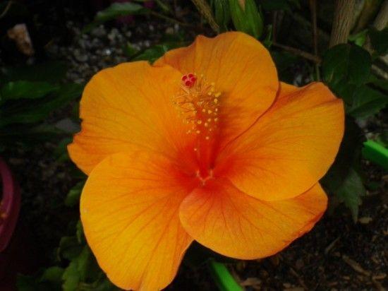 Hibiscus - Landsdale Plants